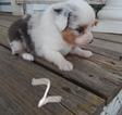 Australian Shepherd Puppy For Sale in NEW LONDON, Iowa,