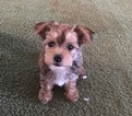 Morkie Puppy For Sale in NEW MARKET, AL, USA