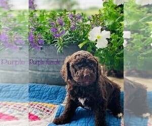 Goldendoodle Puppy for Sale in JACKSBORO, Texas USA