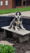Siberian Husky Puppy For Sale in DUNDEE, OH