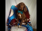 German Shorthaired Pointer Puppy For Sale in EAST EARL, PA, USA