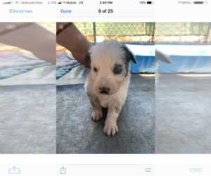 Australian Shepherd Puppy for sale in MONTCLAIR, CA, USA