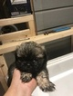 Shih Tzu Puppy For Sale in MADISON, NC, USA