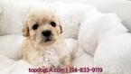 Maltese-Poodle (Standard) Mix Puppy For Sale in LA MIRADA, CA, USA