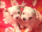 Maltese Puppy For Sale in NEWBURGH, IN, USA