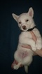 Siberian Husky Puppy For Sale in ILION, NY,