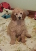 Poodle (Standard) Puppy For Sale in JEFFERSON, OH,