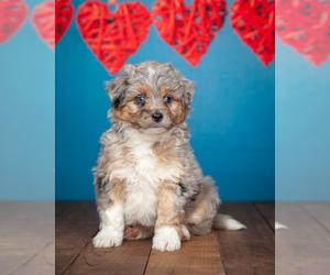 Australian Shepherd-Poodle (Miniature) Mix Puppy for sale in ADDISON, MI, USA
