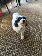 Zuchon Puppy for sale in CAMP HILL, PA, USA