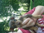 Miniature Pinscher Puppy For Sale in CHERAW, SC, USA