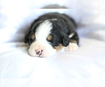 Small #7 Bernese Mountain Dog