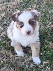 Miniature Australian Shepherd Puppy for sale in COMANCHE, TX, USA