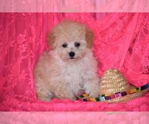 Poodle (Toy) Dog for Adoption in ELDORADO, Ohio USA