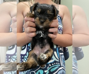 Yorkshire Terrier Puppy for sale in NEWTON, NC, USA