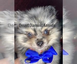 Pomeranian Puppy for Sale in HI VISTA, California USA