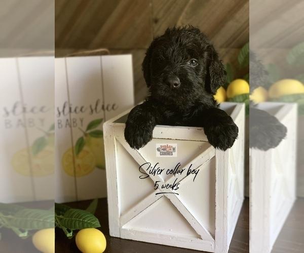 Medium Photo #1 Labradoodle Puppy For Sale in PAW PAW, MI, USA