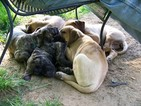 Presa Canario Puppy For Sale in CANTON, GA, USA