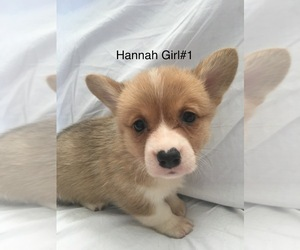 Pembroke Welsh Corgi Dog for Adoption in RAMONA, Oklahoma USA