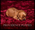 Cavapoochon Mix Puppy For Sale in WAYLAND, IA, USA
