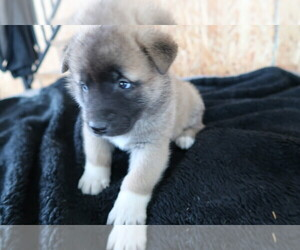 Akita Puppy for sale in INDIANAPOLIS, IN, USA