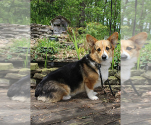 Pembroke Welsh Corgi Dog for Adoption in FAIR GROVE, Missouri USA