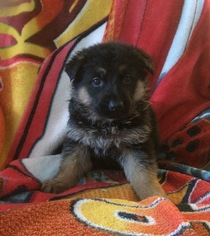 German Shepherd Dog Puppy for sale in FOREST JUNCTION, WI, USA
