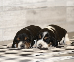 Beagle Puppy for sale in CLARKRANGE, TN, USA