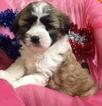 CHRISTMAS  mini Bernedoodle maryland puppy