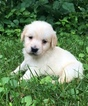 Golden Retriever Puppy For Sale in MORGANTOWN, IN, USA