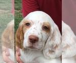 Puppy 2 English Setter