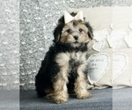 Puppy 5 Poodle (Toy)-Yorkshire Terrier Mix