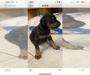 Doberman Pinscher Puppy for sale in CLARKSVILLE, MD, USA