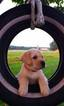 Labrador Retriever Puppy For Sale in HILLSBORO, OH, USA
