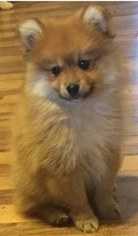 Pomeranian Puppy for sale in TULSA, OK, USA