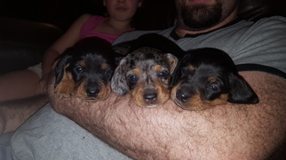 Dachshund Puppy For Sale in LYNCHBURG, VA