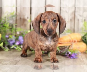 Dachshund Puppy for sale in MOUNT VERNON, OH, USA