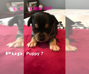 Jack Chi Puppy for sale in SOMERSET, PA, USA