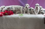 Dalmatian Puppy For Sale in KENT, OH, USA