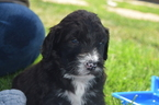 Bernese Mountain Poo Puppy For Sale in RIVERSIDE, CA