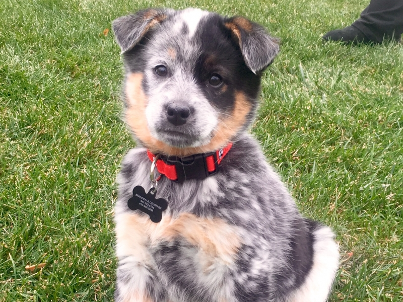 View Ad: Texas Heeler Puppy for Sale near Maryland ...