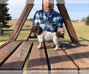 German Shorthaired Pointer Puppy for sale in GOSHEN, IN, USA