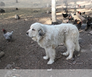 Great Pyrenees Puppy for sale in GOLDENDALE, WA, USA