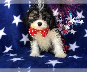 Cockalier-Poodle (Miniature) Mix Puppy for sale in EAST EARL, PA, USA