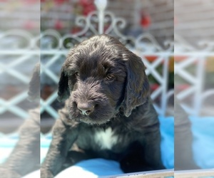 Labradoodle Puppy for Sale in HAMMOND, Louisiana USA