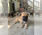 Small Belgian Malinois