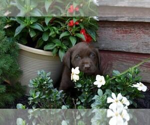 Labrador Retriever Dog for Adoption in MOUNT SOLON, Virginia USA
