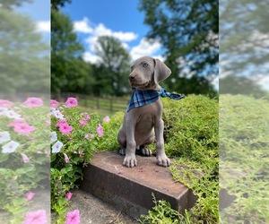 Weimaraner Puppy for Sale in BATESVILLE, Indiana USA