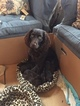 Boykin Spaniel Puppy For Sale in CROWNSVILLE, MD