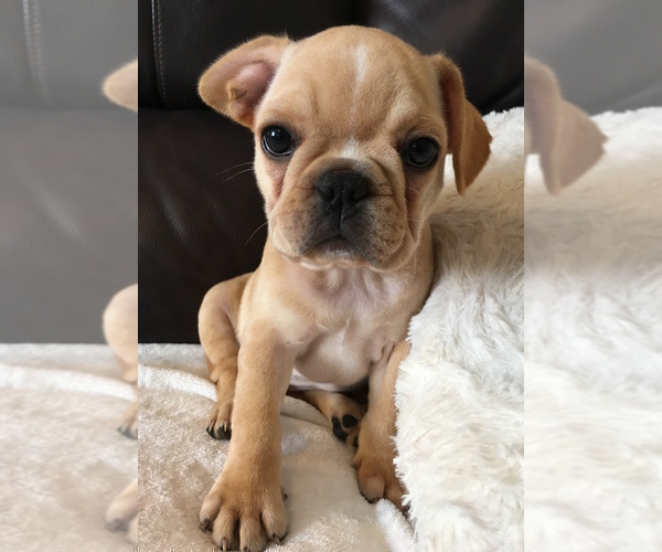 PuppyFinder com - View Ad: Photo #19 of Listing French Bulldog Puppy
