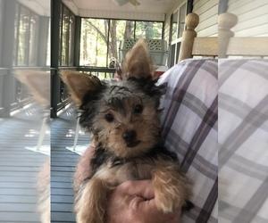 Yorkshire Terrier Puppy for sale in BLAIRSVILLE, GA, USA